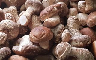 태조산 송고버섯