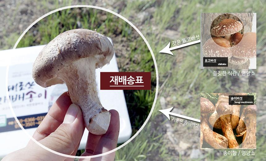 태조산 재배송표! 표고버섯의 쫄깃한 식감과 영양소, 송이버섯의 송이향과 영양소
